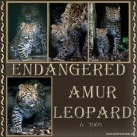 AmurLeopards.jpg