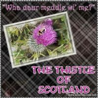 thistle_of_scotland.jpg