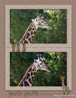 Zoo-October-2008-004-giraffe.jpg