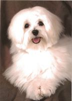 Sammie_Buntin_maltese_puppies_for_sale_in_indiana.jpg