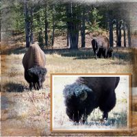 Yellowstone-008-Bison-2.jpg