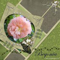 Begonia-2nd.jpg
