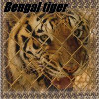 Bengal-tiger-000-Page-1.jpg