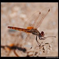 My-Scrapbook-007-orange-dragonfly.jpg