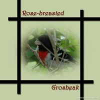 Rose-breasted-Grosbeak.jpg
