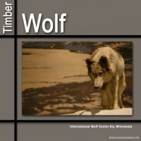 Timber-Wolf.jpg