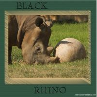 black-rhino-000-Page-1.jpg