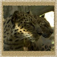 doulble-leopards-000-Page-1.jpg